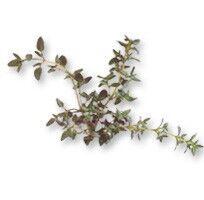 Kiwi zelené